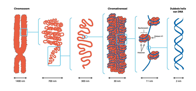 Van chromosoom naar DNA in zes stappen.